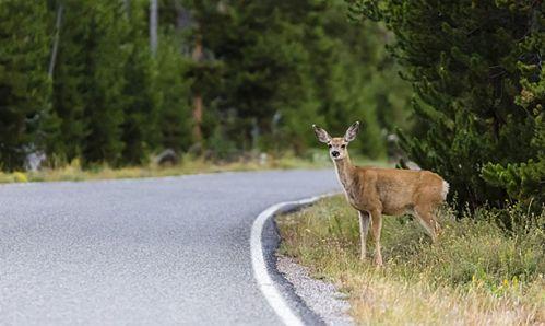 Keliuose padaugėjo susidūrimų su laukiniais gyvūnais